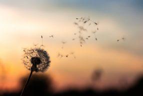 """Μια """"πικραλίδα"""" δίνει ελπίδα για τη ζωή"""